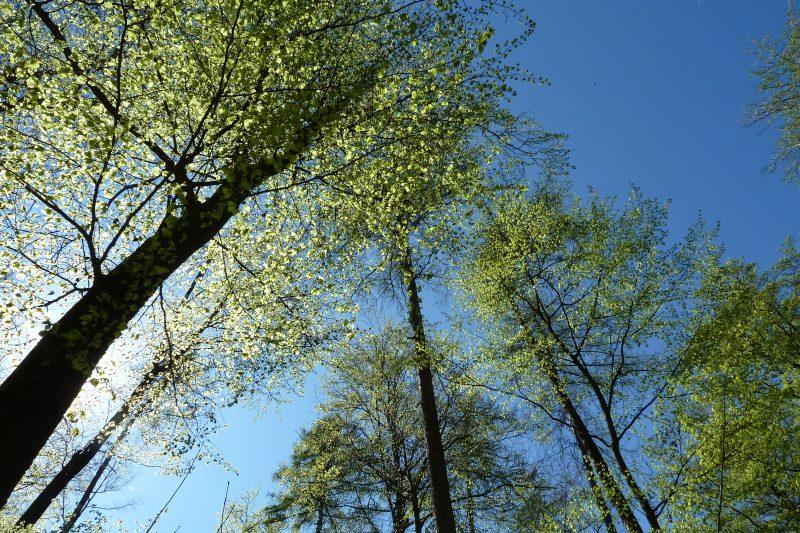 Sonne hinter austreibenden Bäumen vor blauem Himmel